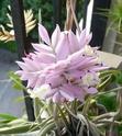 Tillandsia cacticola - Floraison 2015 P1100413