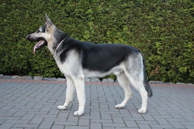 EAST EUROPEAN SHEPHERD DOGS OF OUR BREEDING IN GERMANY 11749210