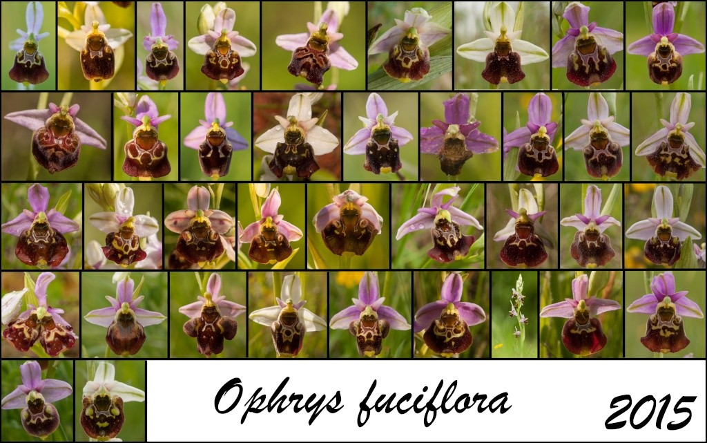 Trombinoscope Fucifloresque en Meurthe et Moselle Ophrys10