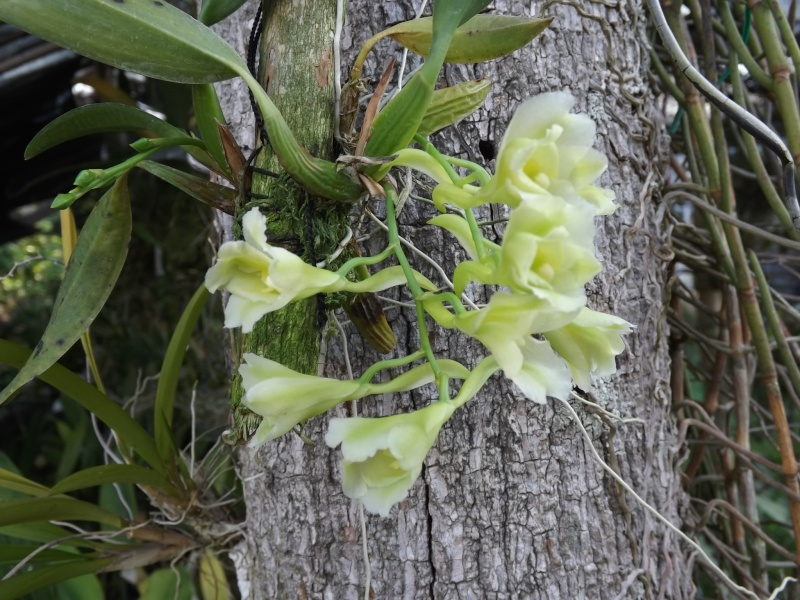 Rodriguezia granadense  Dscf0711