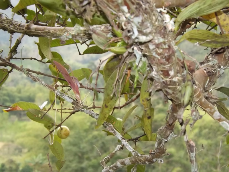 Rodriguezia granadense  Dscf0712