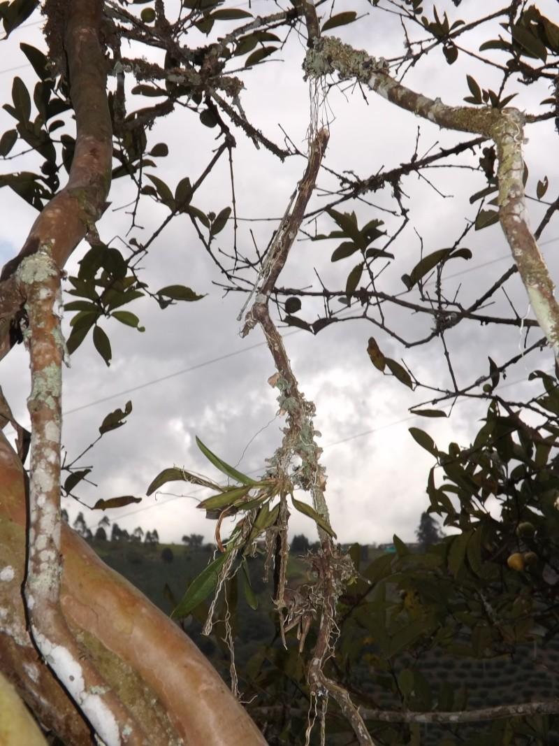 Rodriguezia granadense  Dscf0713