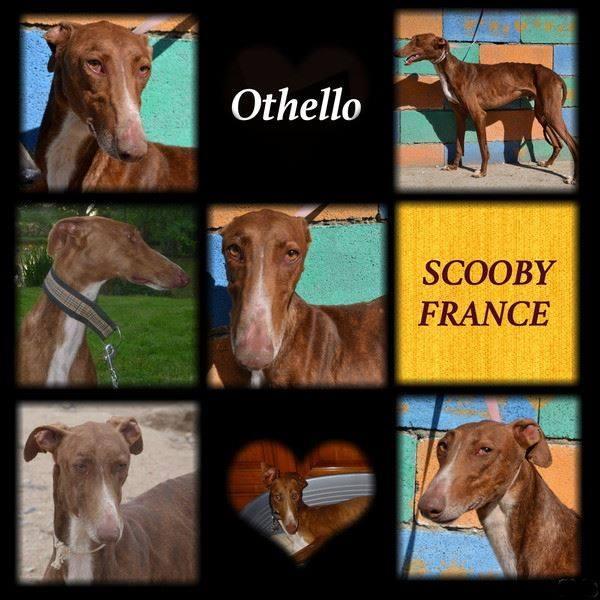 Othello galgo Scooby France –Adopté/devenu OTTO - Page 2 A_othe10