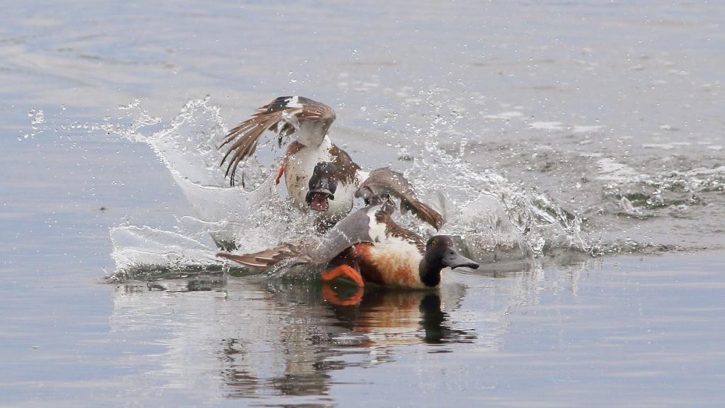 Une p'tite série canard souchet Canard12