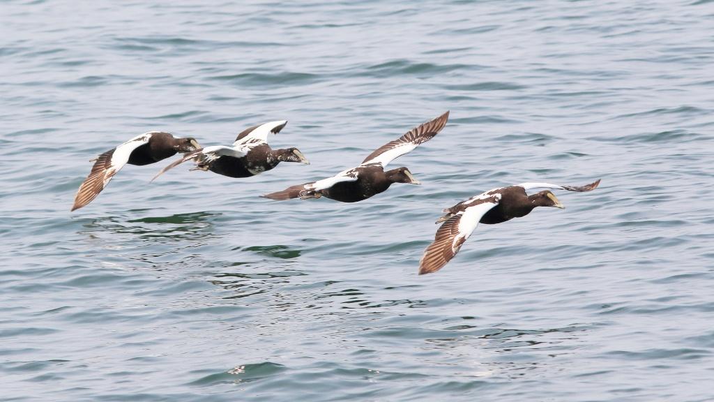 Eider, cormoran et un petit pingouin Eider_11