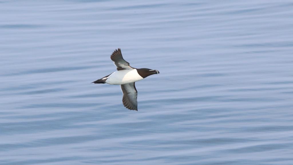 Eider, cormoran et un petit pingouin Petit_10