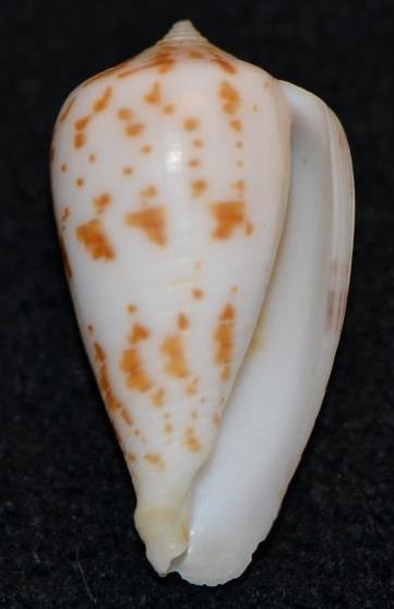 Conus (Phasmoconus) balabacensis Filmer, 2012 Dsc_9134