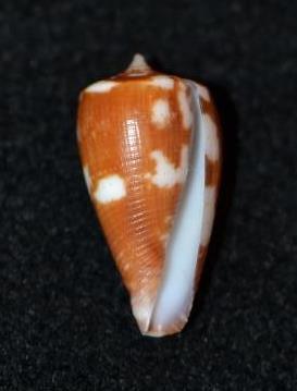 Conus (Phasmoconus) pica   Adams & Reeve, 1848 - Page 2 Dsc_9136