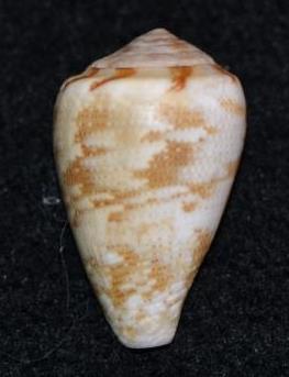 Conus sp. 023 ==> Conus_ventricosus Dsc_9140
