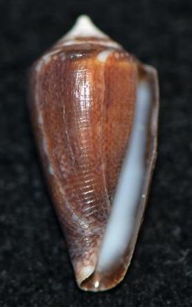 Conus (Cylinder) barbieri    Raybaudi, 1995 Dsc_9169