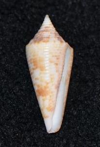Conus (Phasmoconus) neptunus   Reeve, 1843 Dsc_9173