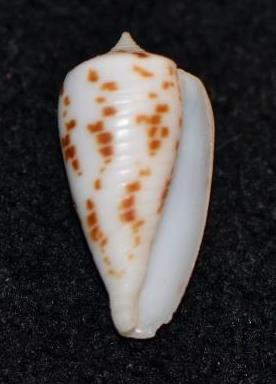 Conus (Phasmoconus) balabacensis Filmer, 2012 Dsc_9218