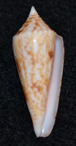 Conus (Phasmoconus) neptunus   Reeve, 1843 Dsc_9225
