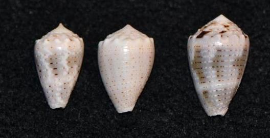 Conus_sp._053, 054, & 055_Conus_coronatus Dsc_9240