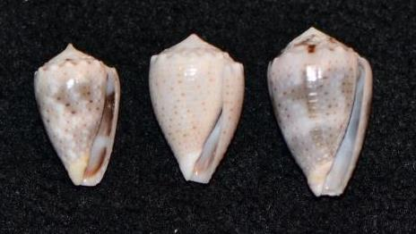 Conus_sp._053, 054, & 055_Conus_coronatus Dsc_9241