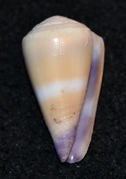 Conus sp. 056 ==> Virgiconus frigidus, Reeve 1848 Dsc_9243