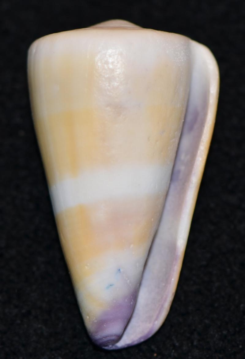 Conus sp. 064 ==> Virgiconus_flavidus Dsc_9253