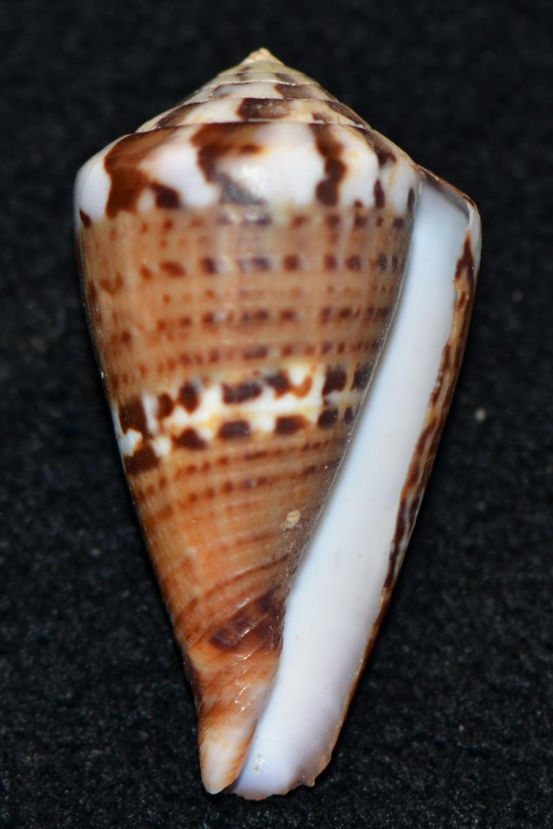Conus (Rhizoconus) capitaneus   Linnaeus, 1758 - Page 3 Dsc_9257