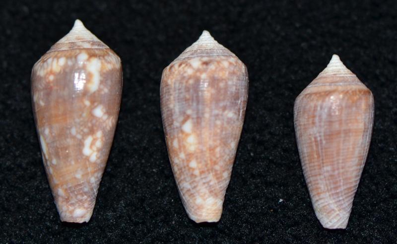 Conus (Cylinder) barbieri    Raybaudi, 1995 Dsc_9258