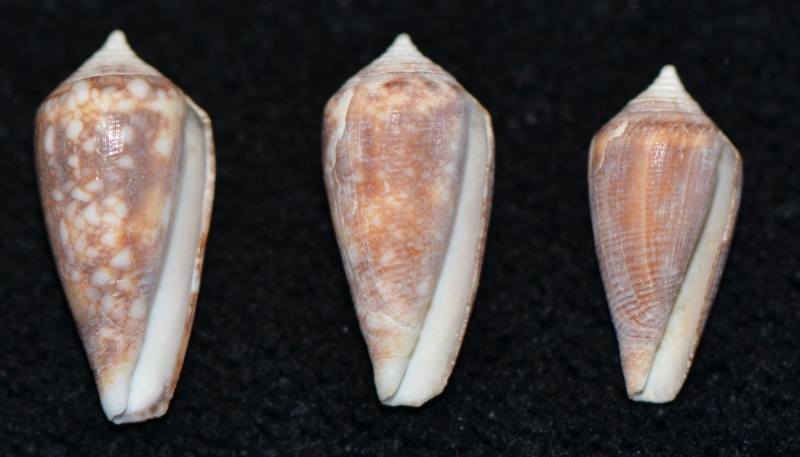 Conus (Cylinder) barbieri    Raybaudi, 1995 Dsc_9259