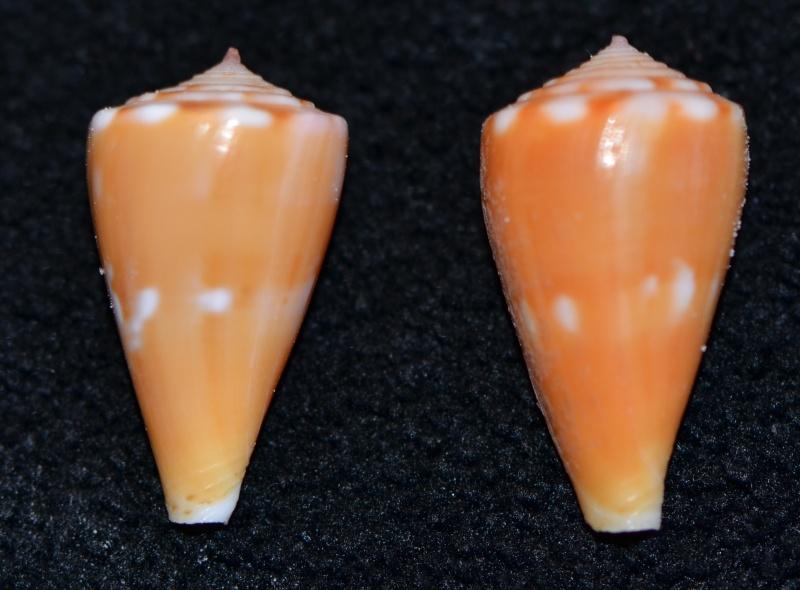 Conus (Splinoconus) sazanka Shikama, 1970 voir Conus (Splinoconus) martensi Dsc_9266
