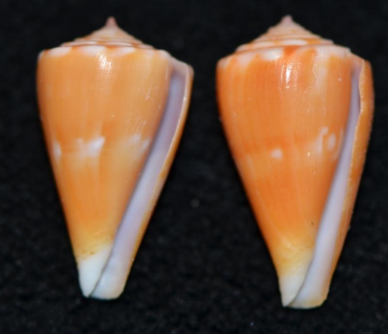 Conus (Splinoconus) sazanka Shikama, 1970 voir Conus (Splinoconus) martensi Dsc_9267