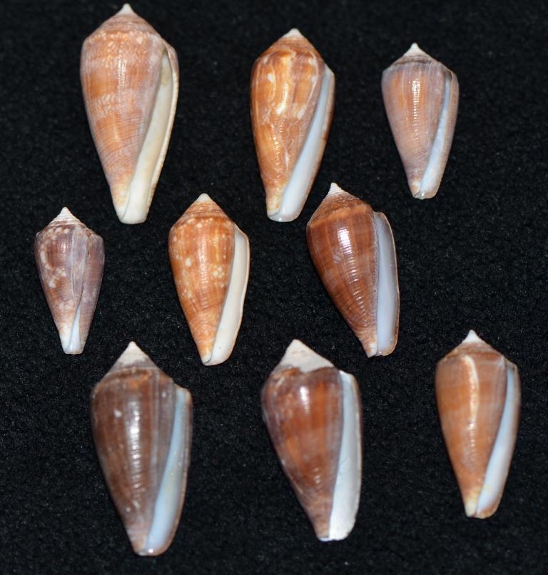 Conus (Cylinder) barbieri    Raybaudi, 1995 Dsc_9270
