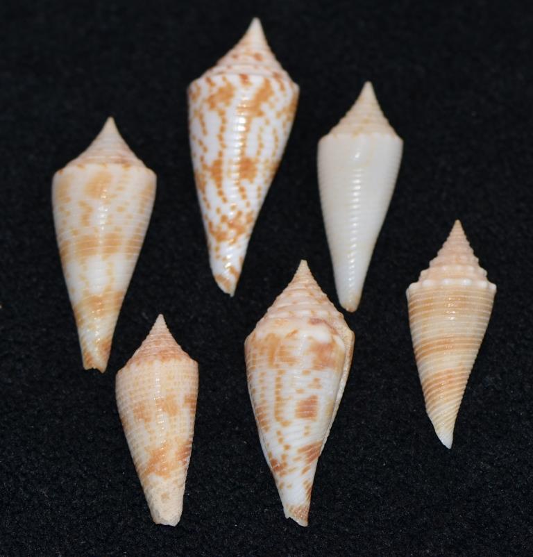 Conus sp. 089 --> 094 = divers fusiconus Dsc_9281