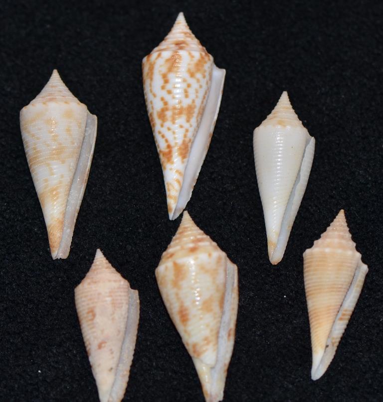 Conus sp. 089 --> 094 = divers fusiconus Dsc_9282