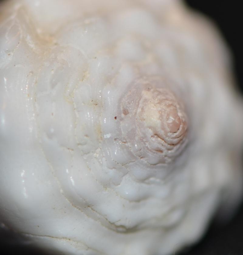 Conus sp. 118 ==> Conus lividus Hwass in Bruguière, 1792 Dsc_9542