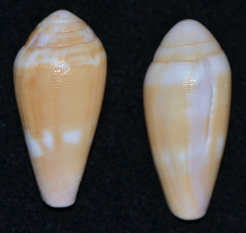 Conus (Leporiconus) tenuistriatus  GB Sowerby II, 1858 - Page 3 Dsc_9635