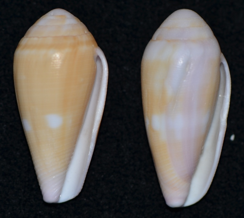 Conus (Leporiconus) tenuistriatus  GB Sowerby II, 1858 - Page 3 Dsc_9636