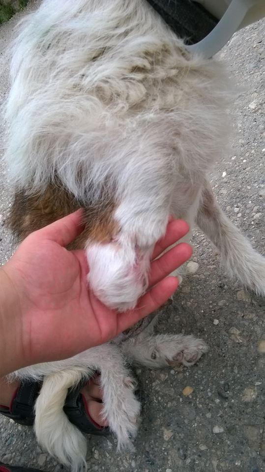 HOPE 4, F-X Fox, handicapée, née 2011 (Etela) - Prise en charge Association Enfin le Bonheur H-110