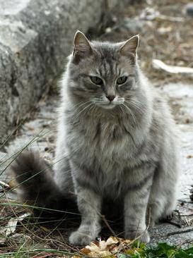 Cait's Kitty Profiles Cinder11