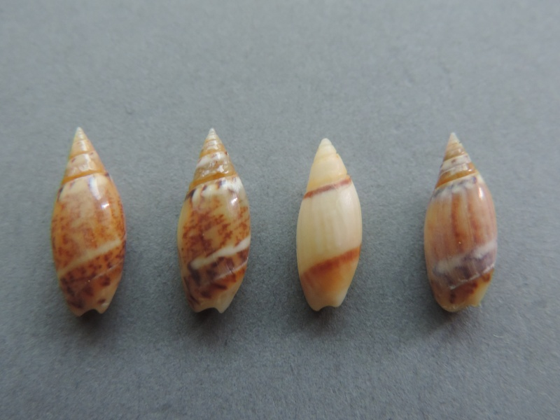Olivella pulchella - (Duclos, 1835) Dscn2612