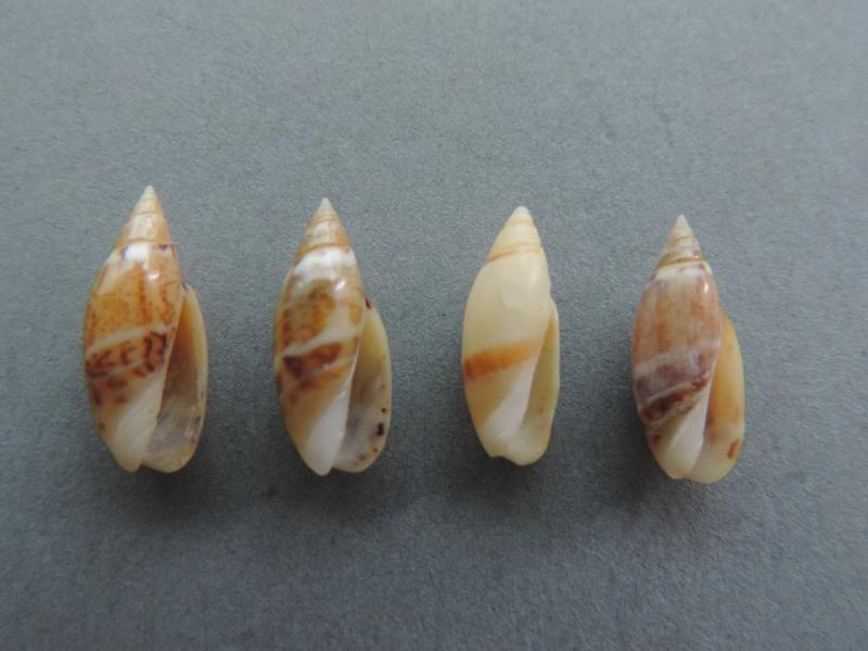 Olivella pulchella - (Duclos, 1835) Dscn2613
