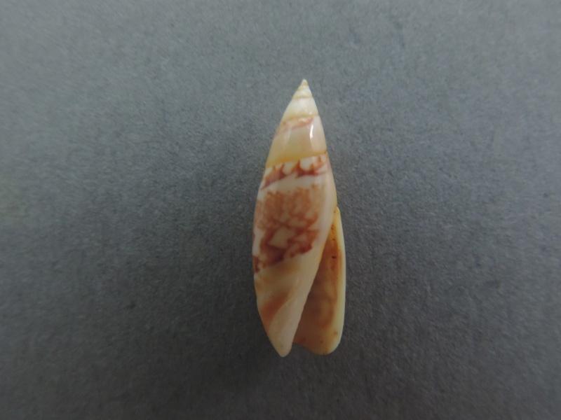 Olivella gracilis - (Broderip & G.B. Sowerby I, 1829) Dscn2615