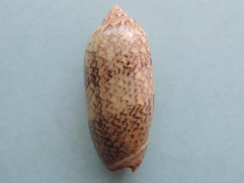 Americoliva circinata circinata (Marrat, 1871) Dscn2618