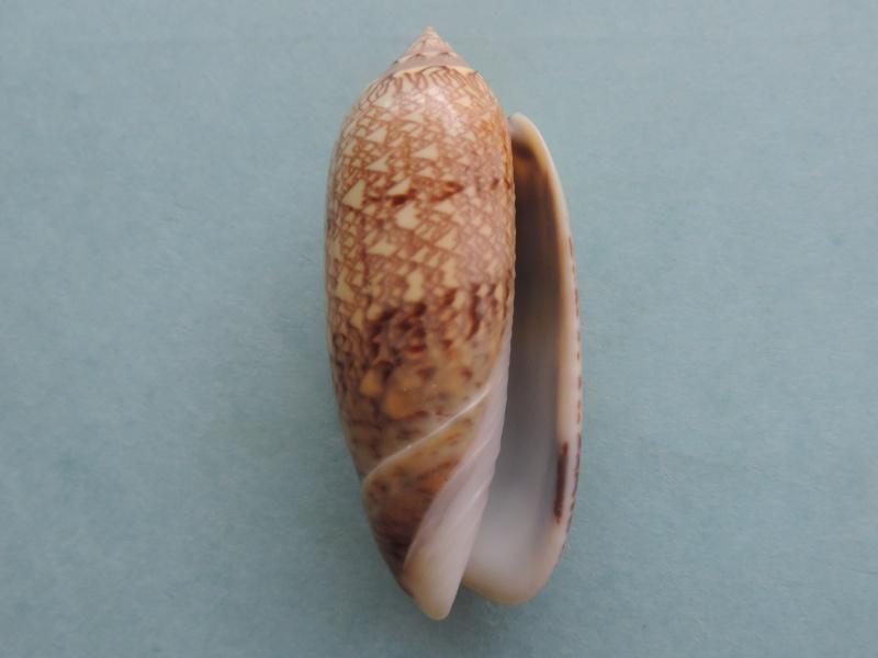 Americoliva circinata circinata (Marrat, 1871) Dscn2619