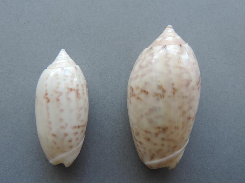 Americoliva fulgurator bullata (Marrat, 1871) - Worms = oliva fulgurator (Röding, 1798)  Dscn2621