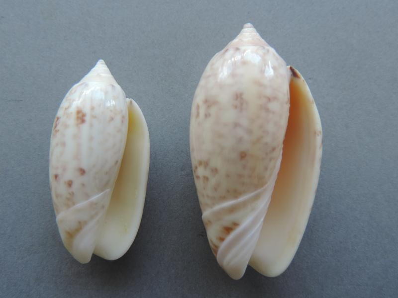 Americoliva fulgurator bullata (Marrat, 1871) - Worms = oliva fulgurator (Röding, 1798)  Dscn2622