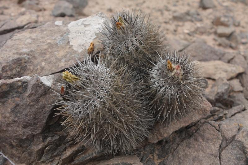 Copiapoa echinata var. borealis Img_1115
