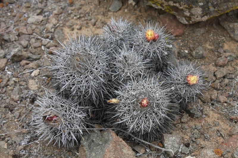 Copiapoa echinata var. borealis Img_1212