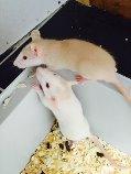 mes ratounes <3  Ladybird EDIT 31 juillet: 3 puces de + à la maison! Raton11