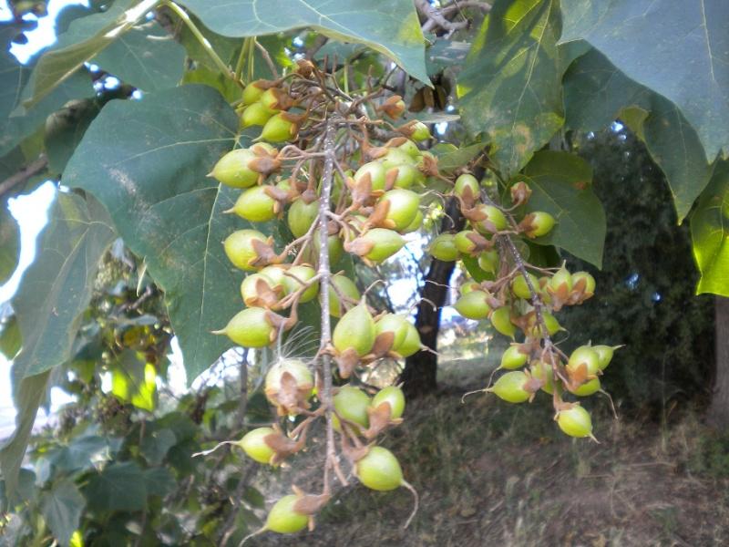 Paulownia tomentosa (résolu) Arbre_11
