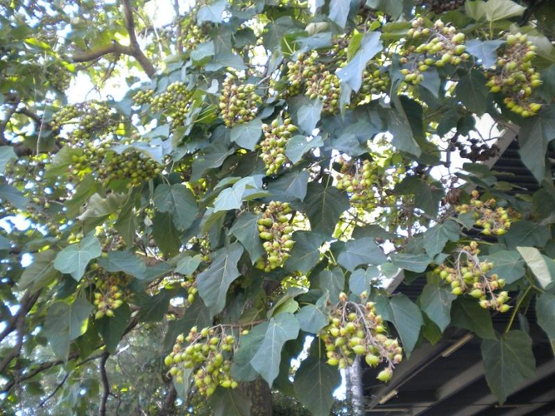 Paulownia tomentosa (résolu) Arbre_13