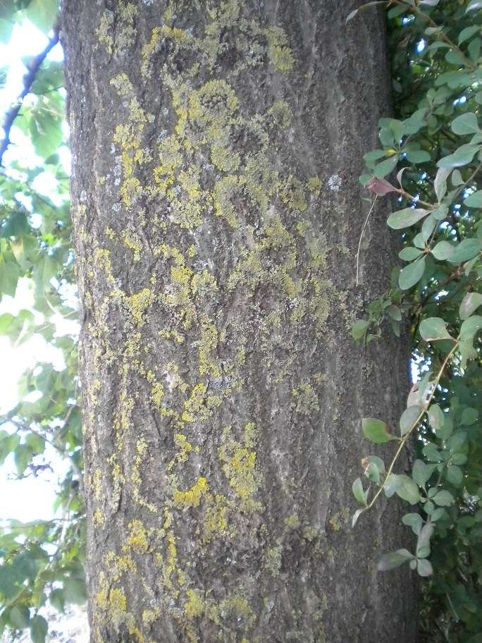 Paulownia tomentosa (résolu) Arbre_14