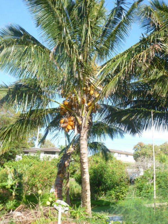 What are Hawaii folks planting and harvesting? - Page 2 Coconu10
