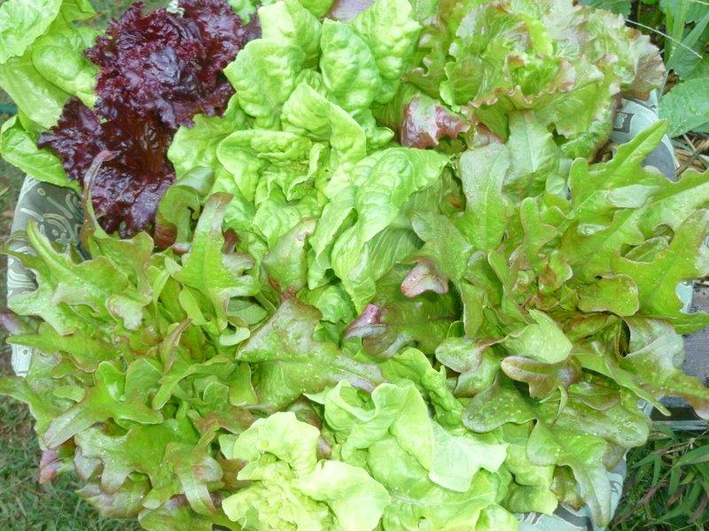 What are Hawaii folks planting and harvesting? - Page 2 Lettuc10
