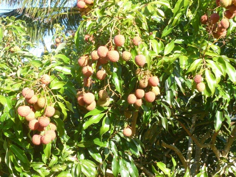 What are Hawaii folks planting and harvesting? - Page 2 Litchi10